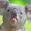 коала, игривое настроение
