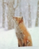 fox_forest