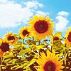 Morigawa Akumi: sunflower fields