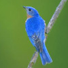 Des: Eastern Bluebird