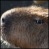 kapibar userpic