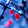 Sholio: Winter-icy berries