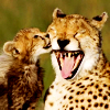 leesa_perrie: Cheetah Laugh