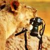 фотографическая львица