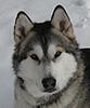 My Alaskan Malamute Jeter