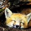 Searching for Fiddler's Green: happy fox