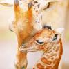 giraffes cuddle