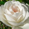 la_rosa_bianca userpic