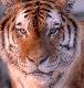 dark_tiger userpic