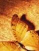 бабочка беж