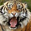 Тигр голодный