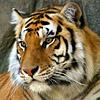 Тигр задумчивый