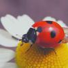 daisyladybug