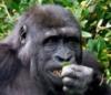 wise_gorilla