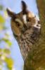 Молодая ушастая сова.