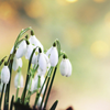 Flowers: Snowdrops (Spring)
