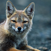 laughing_fox userpic