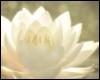 oBeZyAnA bEz IzYaNa: lotus