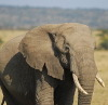 holyfant