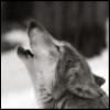 Волчье одиночество
