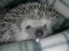 hedgehoglady userpic
