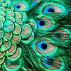 Lucie ~ Dangerous: Peacock