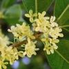 цветок османтуса