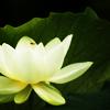 lotus, girlyb-icons