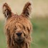 alpaca steve