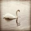 boston, swan