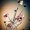 linnea82: pink flowers