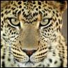 she_cheetah userpic