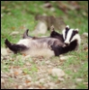 blubblub_badger userpic