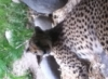 cheetah, Zoo, Portland OR