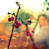 Autumn-berries in sunlight