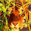 arky_tiger userpic