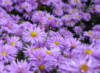 herbst_aster
