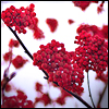 crimson flowers, winter