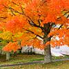 Misc Fall Tree