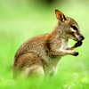Kim: (Stock) Wallaby
