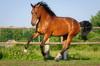 лошади, Гонг