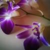 Velvet Asphyxia