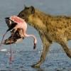 Гиена с фламинго в зубах