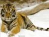 тигрица