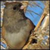 marchskies: oregon junco