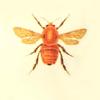 vucubcaquix' bee