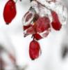 Berberis in Winter