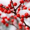 Hawthorne Berries in Snow