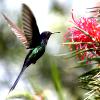 kolibri-laval