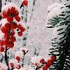 winter berries icon